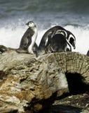 Pingüinos de Magellanic Fotografía de archivo