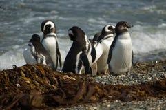 Pingüinos de Magellanic Imágenes de archivo libres de regalías