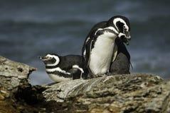 Pingüinos de Magellanic Imagen de archivo