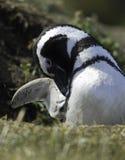 Pingüinos de Magellanic Fotografía de archivo libre de regalías