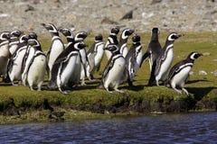 Pingüinos de Magellanic Imagen de archivo libre de regalías