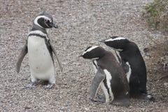 Pingüinos de Magellanic Foto de archivo