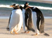 Pingüinos de Magellanic Fotos de archivo