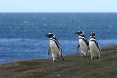 Pingüinos de Magellanic en el santuario del pingüino en Magdalena Island en el Estrecho de Magallanes cerca de Punta AR imagen de archivo libre de regalías