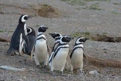 Pingüinos de Magellanic en el santuario del pingüino en Magdalena Island en el Estrecho de Magallanes cerca de Punta AR Foto de archivo