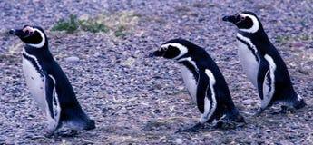 Pingüinos de Magellanic en la península Valdes - la Argentina fotos de archivo libres de regalías