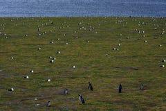 Pingüinos de Magellanic, Magdalena Island, Chile Foto de archivo
