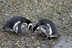 Pingüinos de Magellanic que realizan una exhibición de acoplamiento en una isla rocosa cerca de Ushuaia, la Argentina foto de archivo libre de regalías