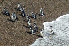 Pingüinos de Magellanic que salen del Océano Atlántico Foto de archivo libre de regalías