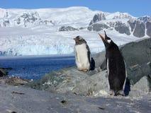 Pingüinos de Papou Imágenes de archivo libres de regalías