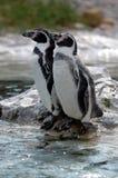 Pingüinos de reclinación imagen de archivo