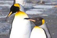 Pingüinos de rey fotografía de archivo