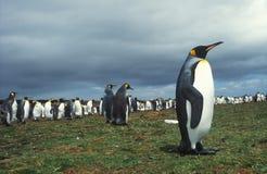 Pingüinos de rey Imágenes de archivo libres de regalías