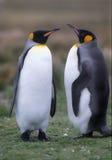 Pingüinos de rey Imagen de archivo