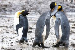 Pingüinos de rey con el gesticulation humano Imagen de archivo libre de regalías