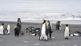 Pingüinos de rey con el polluelo almacen de video