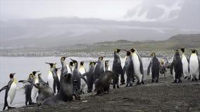 Pingüinos de rey con el polluelo almacen de metraje de vídeo