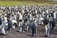 Pingüinos de rey de la colonia Fotografía de archivo libre de regalías