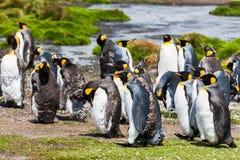 Pingüinos de rey durante mudar Fotografía de archivo