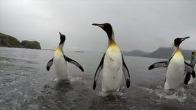 Pingüinos de rey en Georgia del sur almacen de metraje de vídeo