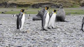 Pingüinos de rey en Georgia del sur almacen de video