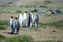 Pingüinos de rey en la bahía de Inutil foto de archivo libre de regalías