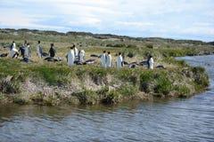 Pingüinos de rey en la bahía de Inutil fotos de archivo libres de regalías
