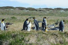 Pingüinos de rey en la bahía de Inutil fotografía de archivo libre de regalías