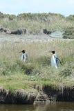 Pingüinos de rey en la bahía de Inutil imagenes de archivo