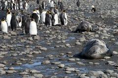 Pingüinos de rey y elefantes de mar en Georgia del sur imagen de archivo