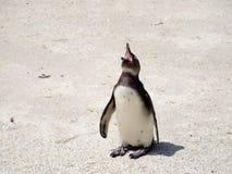 Pingüinos de risa foto de archivo libre de regalías