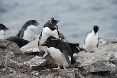 Pingüinos de Rockhopper en Falkland Islands Imagen de archivo libre de regalías