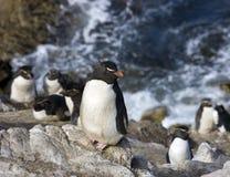 Pingüinos de Rockhopper en la isla del guijarro en Falkland Islands Fotos de archivo