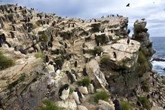 Pingüinos de Rockhopper - isla del guijarro - Falkland Islands Foto de archivo libre de regalías