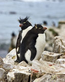 Pingüinos de Rockhopper - Islas Malvinas Imágenes de archivo libres de regalías
