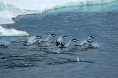 Pingüinos de salto de Adelie Imágenes de archivo libres de regalías