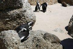 Pingüinos de zopenco Fotos de archivo