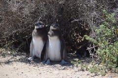 Pingüinos del bebé de Magellan Imagen de archivo libre de regalías