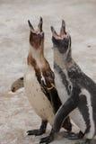Pingüinos del bebé llamada Foto de archivo libre de regalías