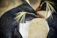 Pingüinos del este de Rockhopper Fotografía de archivo