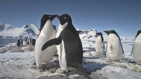 Pingüinos del primer que agitan las alas antártida almacen de video