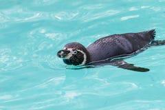 Pingüinos divertidos Fotos de archivo libres de regalías