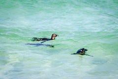 Pingüinos en agua Imagen de archivo libre de regalías