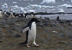 Pingüinos en Ant3artida Imagen de archivo libre de regalías