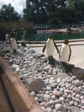 Pingüinos en el parque zoológico de Edimburgo imagen de archivo