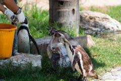 Pingüinos en Hay Park en Kiryat Motzkin, Israel Foto de archivo libre de regalías