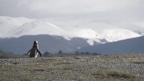 Pingüinos en Isla Martillo, Patagonia Tierra del Fuego Argentina de Ushuaia del canal del beagle fotos de archivo