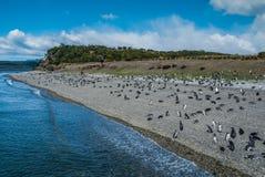 Pingüinos en la isla de Martillo Imagenes de archivo