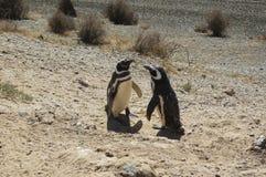 Pingüinos en la península Valdes Fotos de archivo libres de regalías