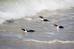 Pingüinos en la playa Imagenes de archivo
